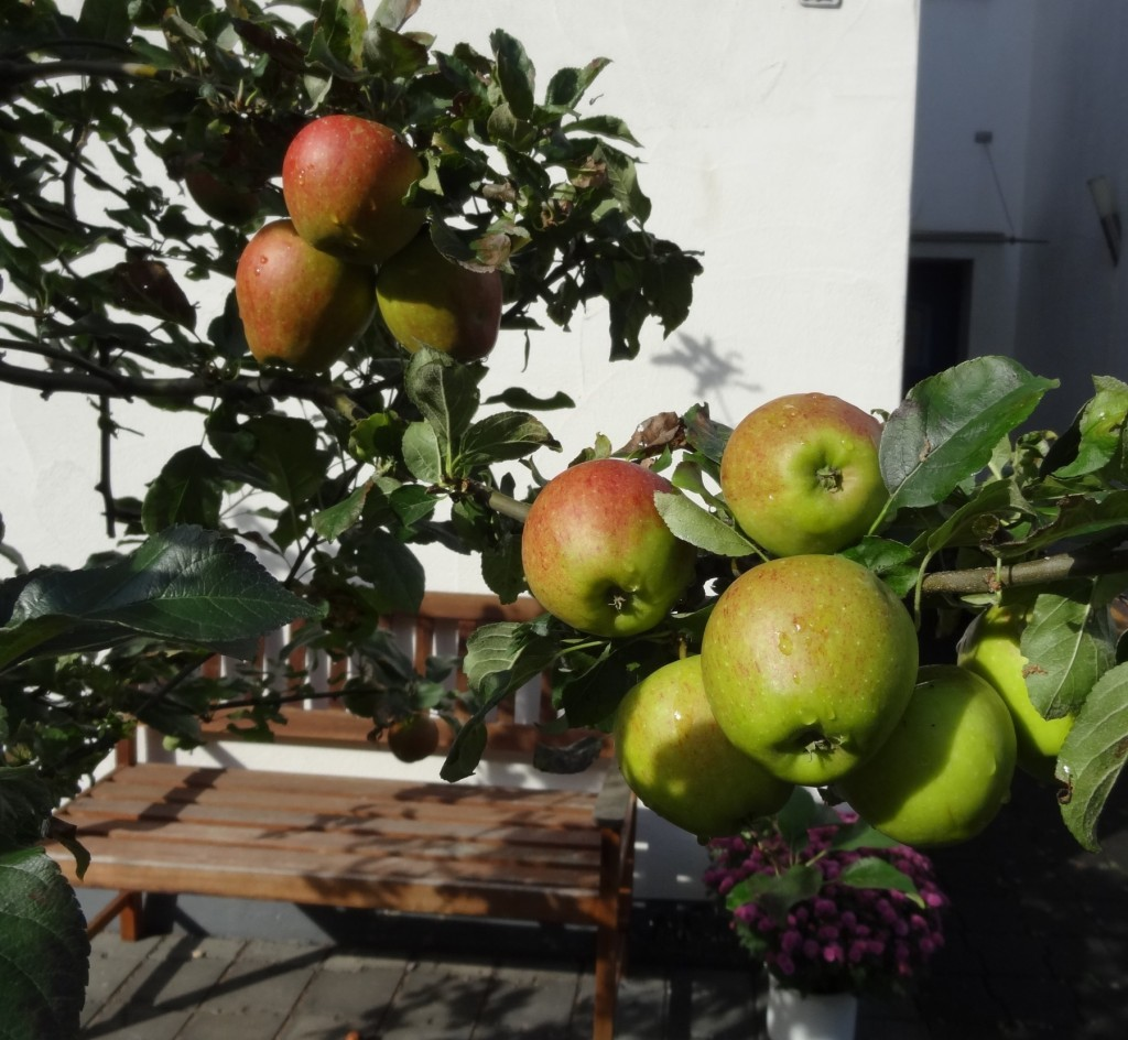 Äpfel im Vorgarten Foto: Freitag-Ziegler