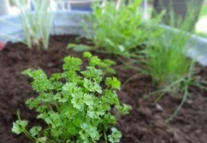 Foto: Freitag-Ziegler In diesem Jahr wächst die Petersilie in der Bütt.