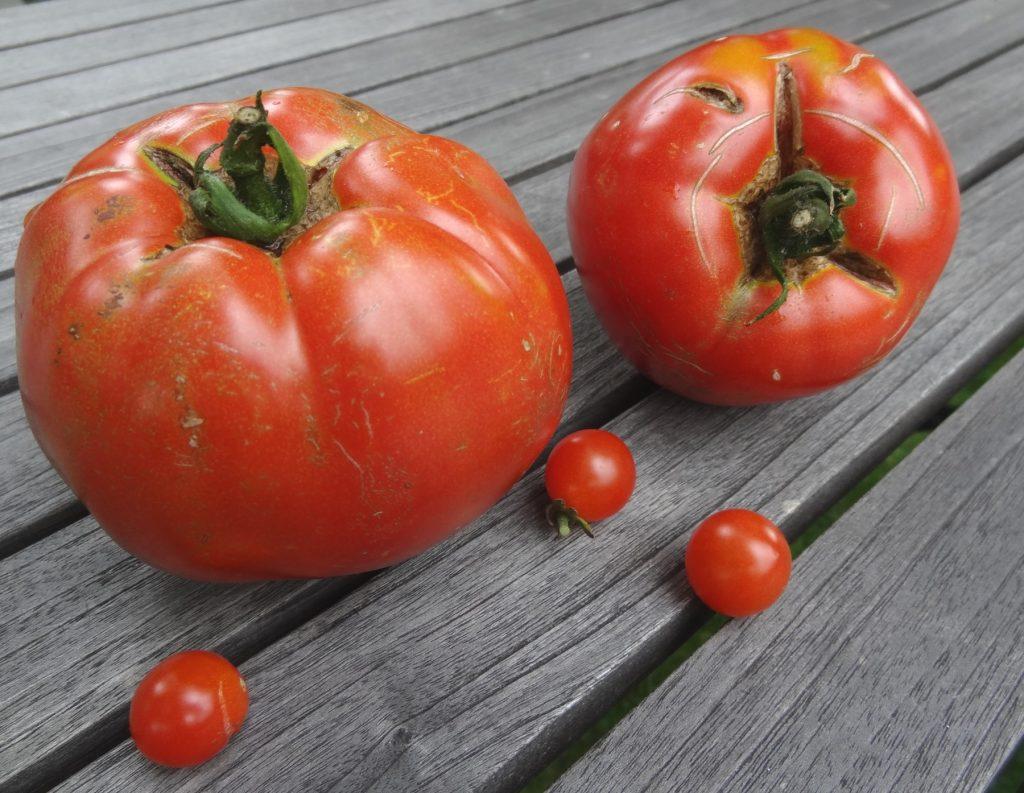 Tomaten aus Nachbars Garten