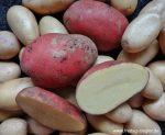Frische Kartoffeln sind die beste Wahl.