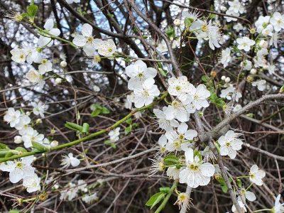 weiße Blüten am Strauch