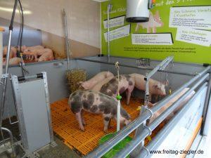 Hier leben die Schweine bis sie mit etwa 10 Monaten geschlachtet werden