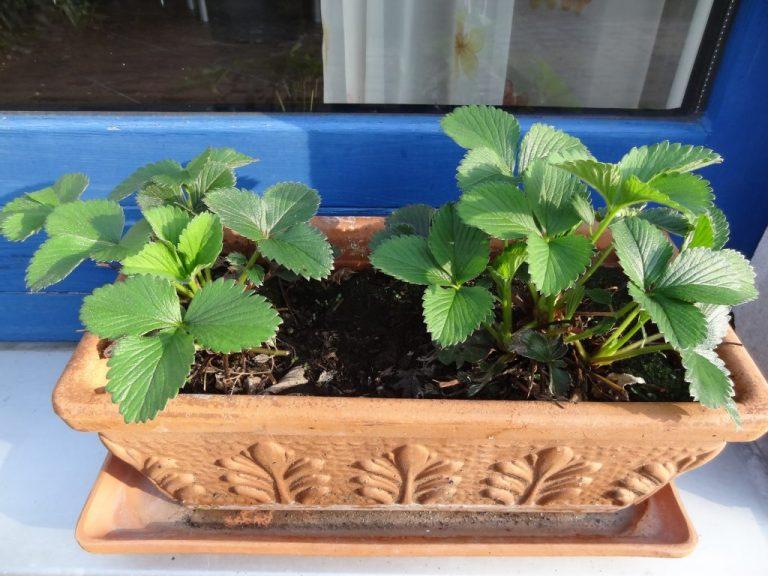 Erdbeerpflanze im März im Balkonkasten
