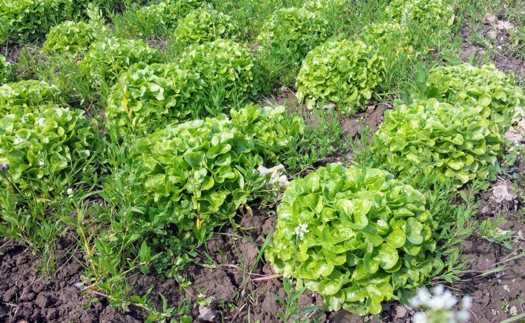 Grüne Salatköpfe auf dem Feld