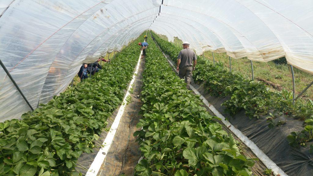 Bio-Erdbeeren im Folientunnel