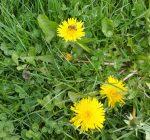 Gewöhnlicher Löwenzahn - Taraxacum officinale, Korbblütler