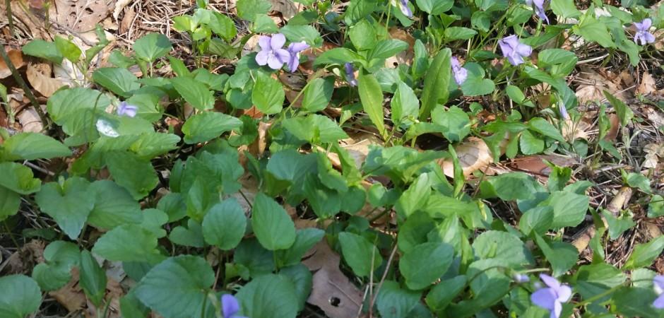 März-Veilchen - Viola odorata, Veilchengewächse