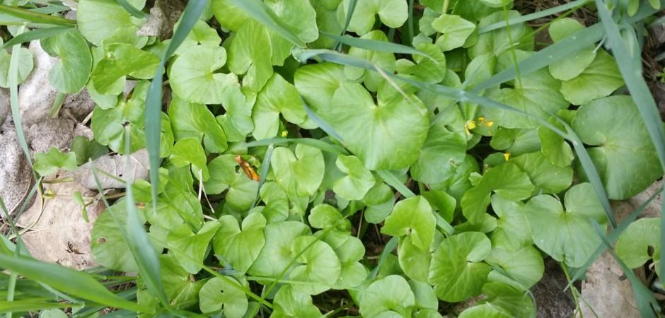 Gewöhnliches Scharbockskraut - Ranunculus ficaria, Hahnenfußgewächse
