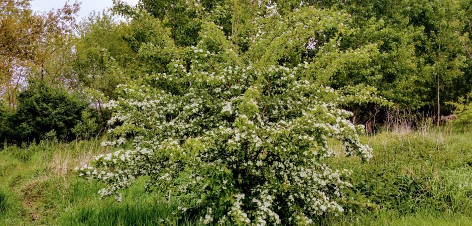 Zweigriffliger Weißdorn - Crataegus laevigata, Rosengewächse