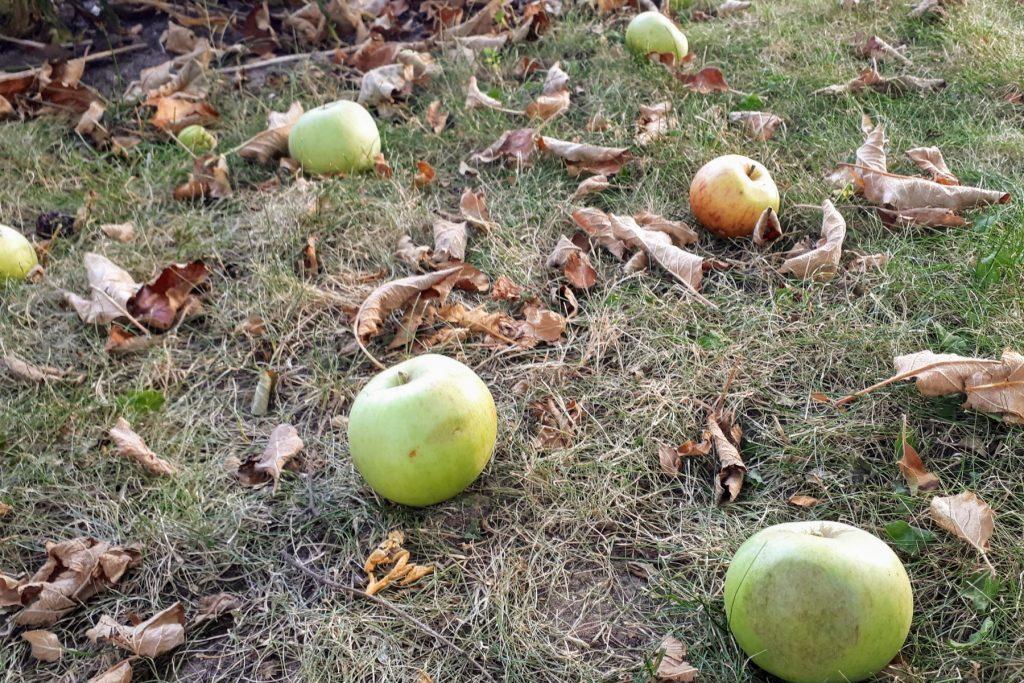 Falläpfel von unserem Apfelbaum