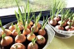 Frisches Zwiebelgrün von der Fensterbank